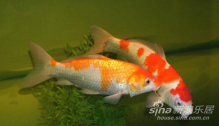 家常食用鱼的种类_淡水食用鱼_食用鱼的名字及图片
