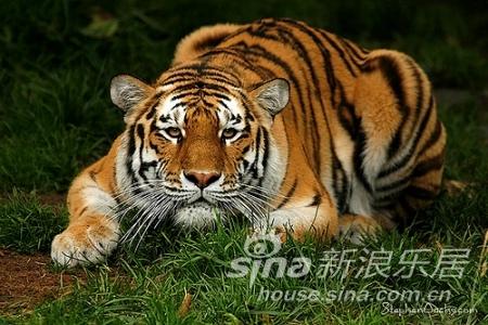 征集:最凶猛的老虎图片