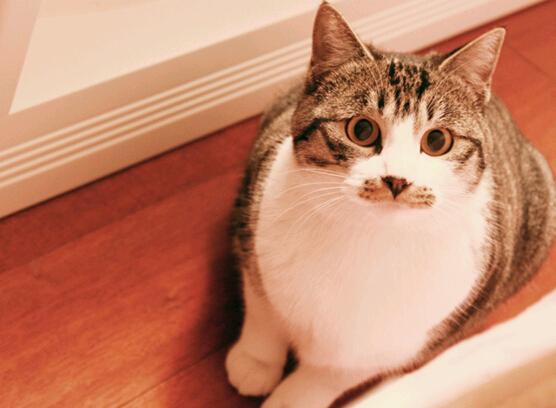 萌宠小天使布偶猫